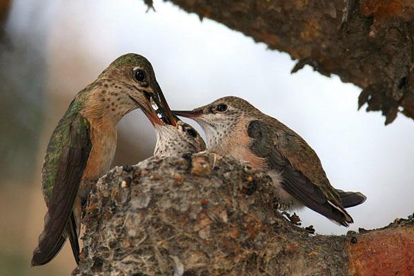 Calliope Hummingbird   Stellula calliope photo