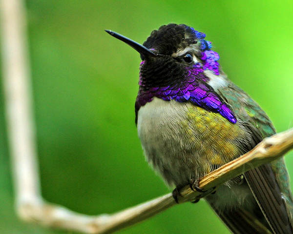 Costa's Hummingbird | Calypte costae photo