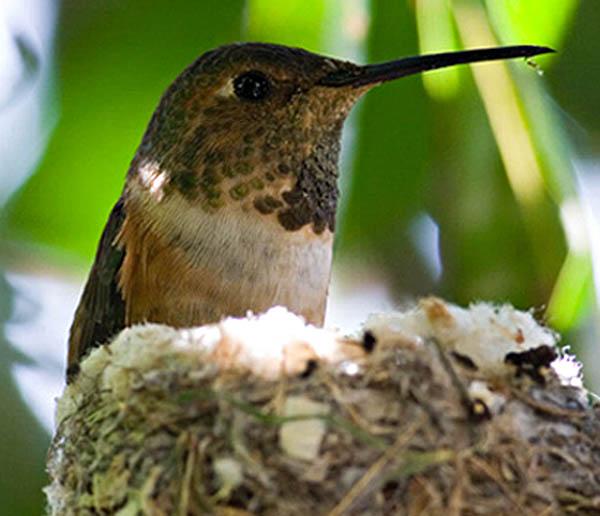 Allen's Hummingbird | Selasphorus sasin photo