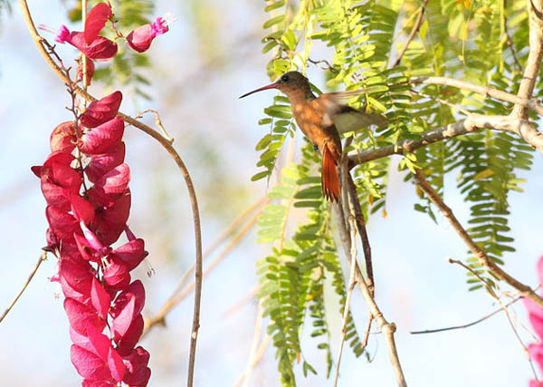 Cinnamon Hummingbird | Amazilia rutila photo
