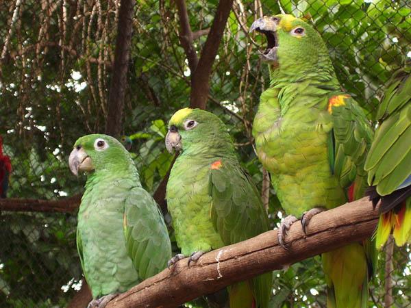 Mealy Parrot | Amazona farinosa photo