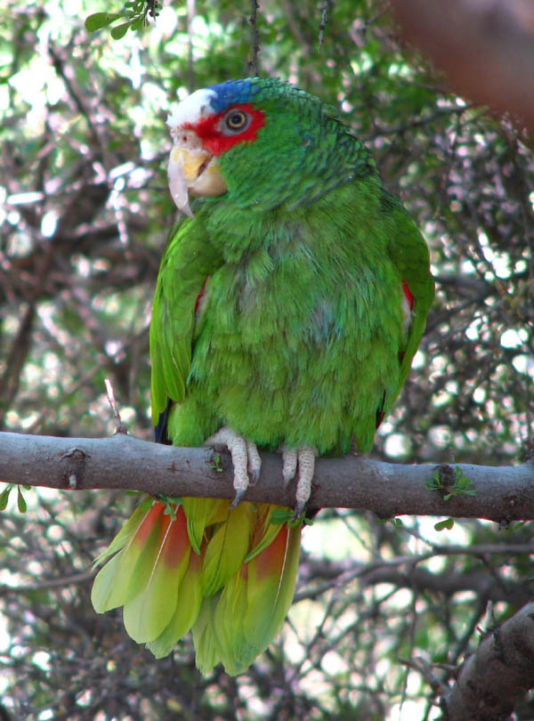 White-fronted Parrot | Amazona albifrons photo