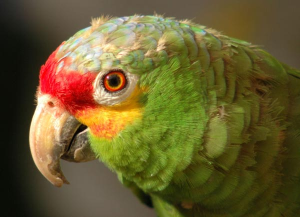 Red-lored Parrot | Amazona autumnalis photo