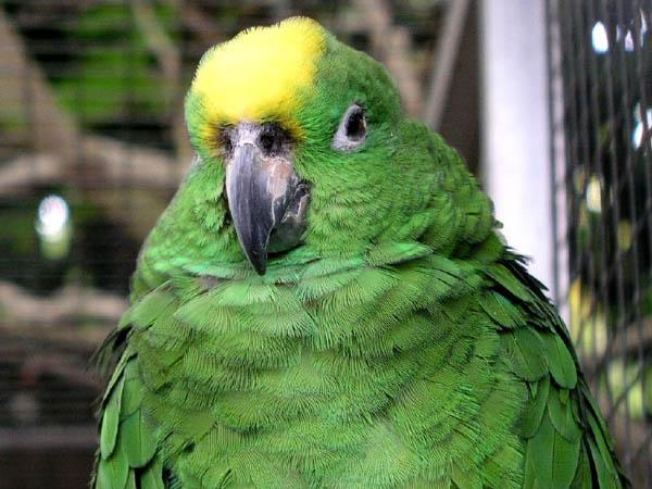 Yellow-crowned Parrot   Amazona ochrocephala photo