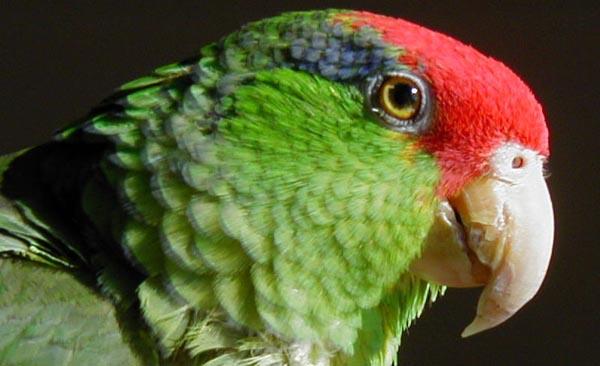 Red-crowned Parrot   Amazona viridigenalis photo