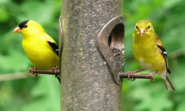 American Goldfinch | Carduelis tristis photo