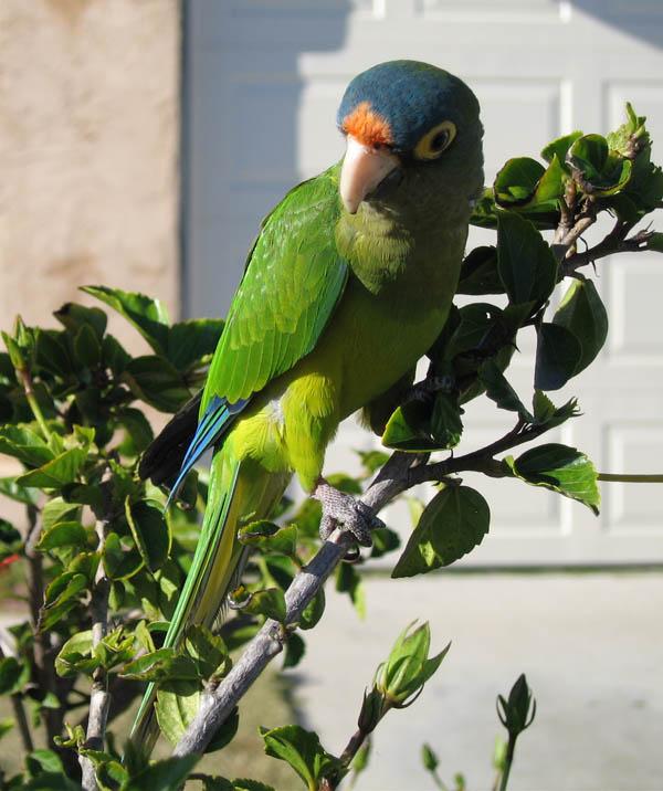 Orange-fronted Parakeet | Aratinga canicularis photo