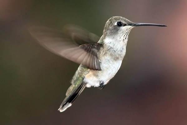 Black-chinned Hummingbird | Archilochus alexandri photo