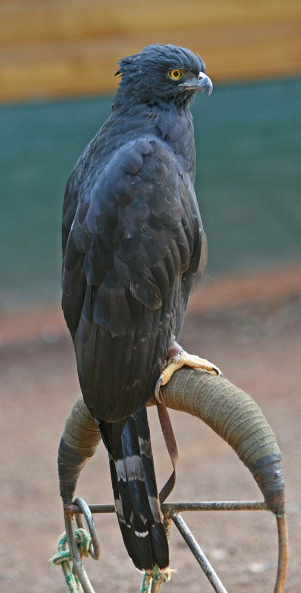 Black Hawk-Eagle | Spizaetus tyrannus photo