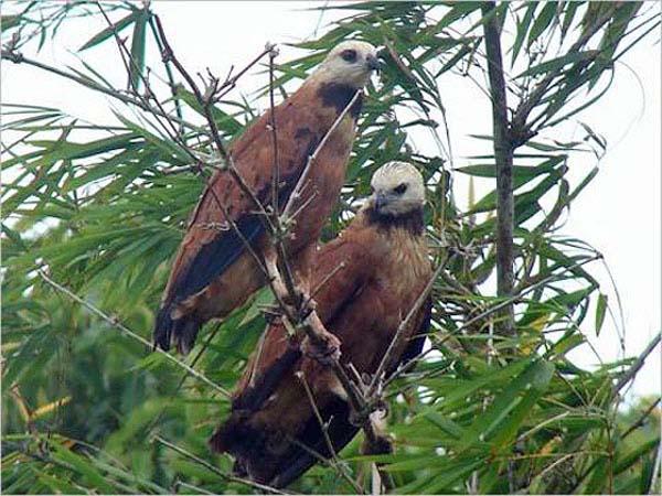 Black-collared Hawk | Busarellus nigricollis photo