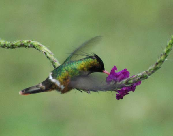 Black-crested Coquette | Lophornis helenae photo