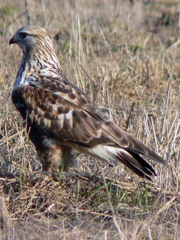 Rough-legged Hawk | Buteo lagopus photo