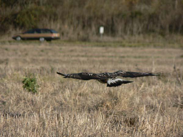 Rough-legged Hawk | Buteo lagopus photo