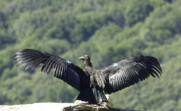 California Condor | Gymnogyps californianus photo