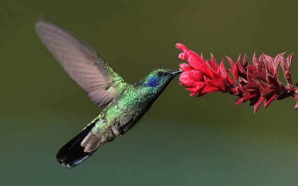 Green Violetear | Colibri thalassinus photo