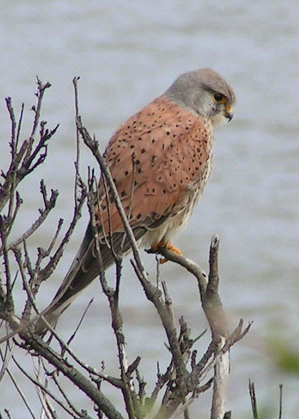 Eurasian Kestrel | Falco tinnunculus photo