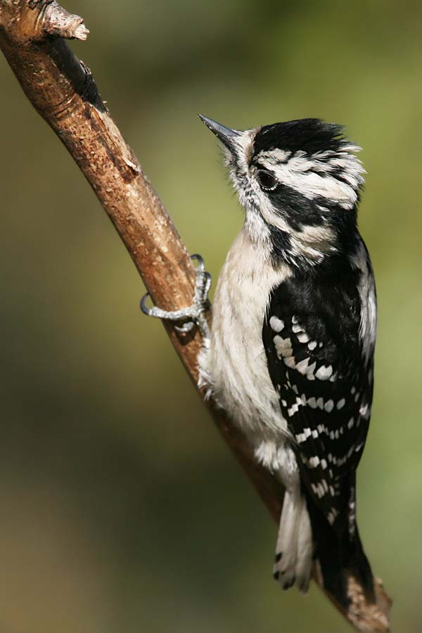 Downy Woodpecker | Picoides pubescens photo