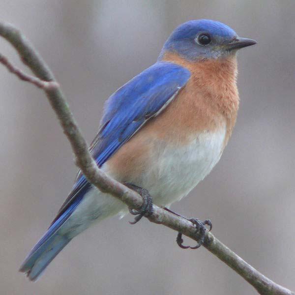 Eastern Bluebird | Sialia sialis photo