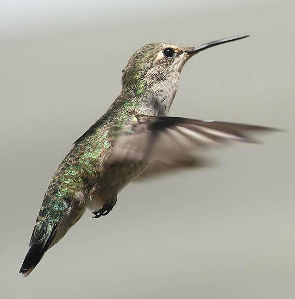 Anna's Hummingbird   Calypte anna photo