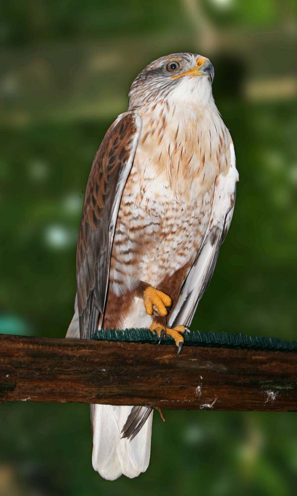 Ferruginous Hawk | Buteo regalis photo