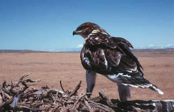Ferruginous Hawk   Buteo regalis photo