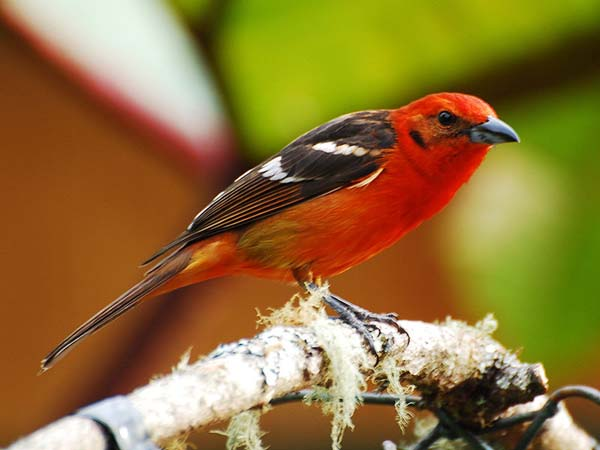 Flame-colored Tanager | Piranga bidentata photo