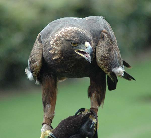 Golden Eagle   Aquila chrysaetos photo