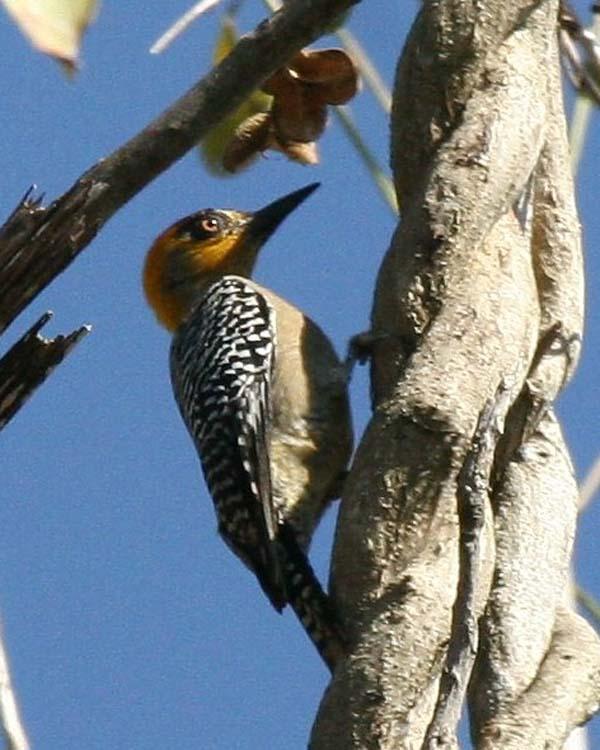 Golden-cheeked Woodpecker | Melanerpes chrysogenys photo