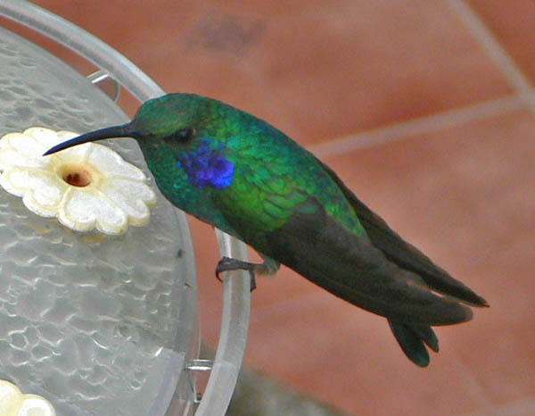 Green Violetear | Colibri thalassinus photo