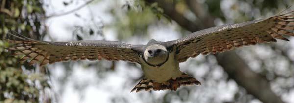 Harpy Eagle | Harpia harpyja photo