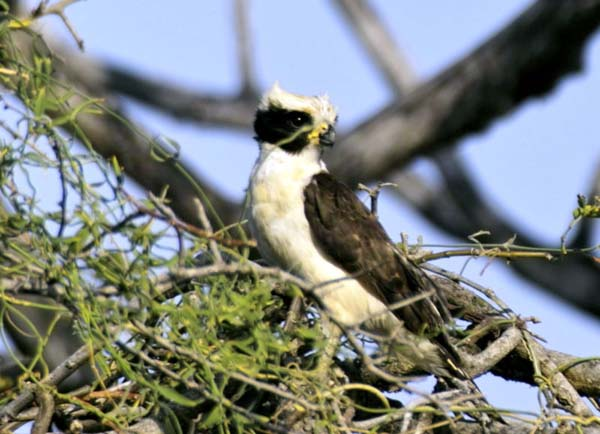 Laughing Falcon | Herpetotheres cachinnans photo