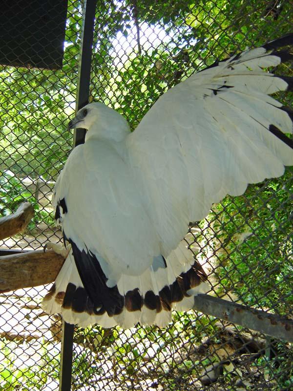White Hawk | Leucopternis albicollis photo
