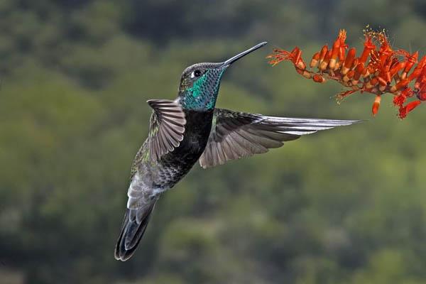 Magnificent Hummingbird   Eugenes fulgens photo