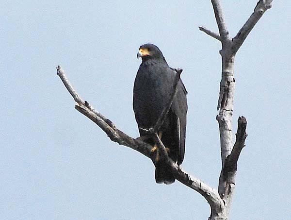Common Black-Hawk | Buteogallus anthracinus photo