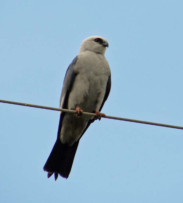 Mississippi Kite | Ictinia mississippiensis photo