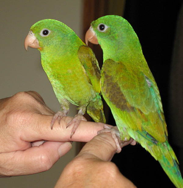 Orange-chinned Parakeet | Brotogeris jugularis photo