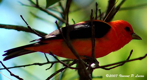 Scarlet Tanager | Piranga olivacea photo