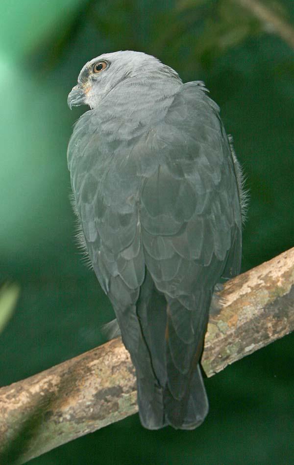 Plumbeous Kite | Ictinia plumbea photo