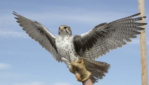 Prairie Falcon | Falco mexicanus photo