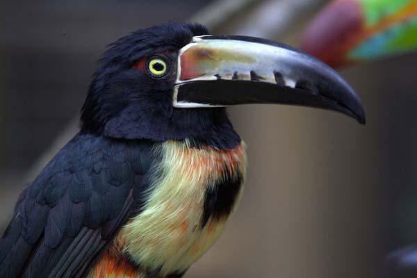 Collared Aracari | Pteroglossus torquatus photo