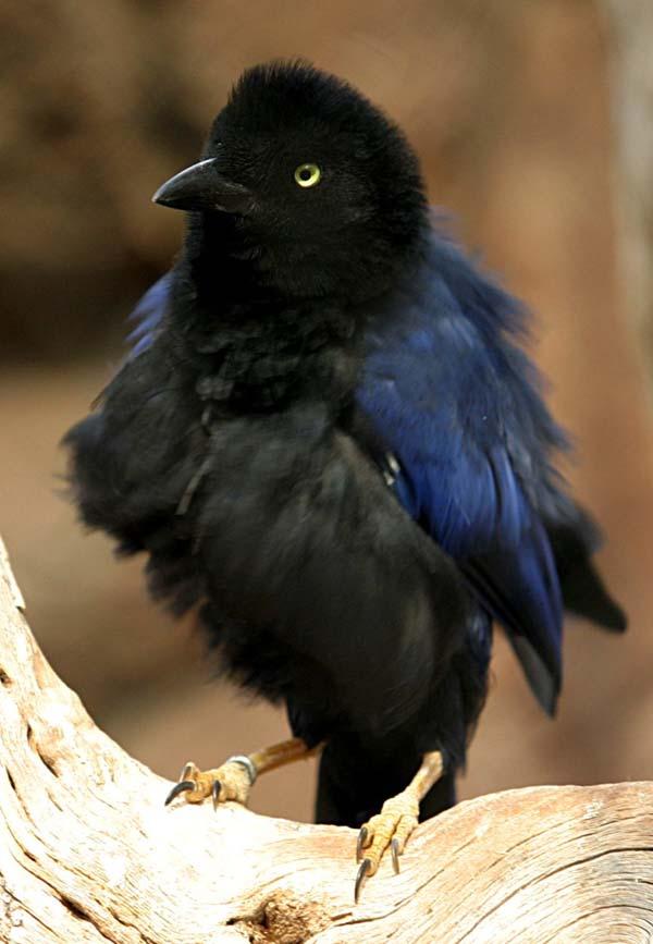 Purplish-backed Jay | Cyanocorax beecheii photo