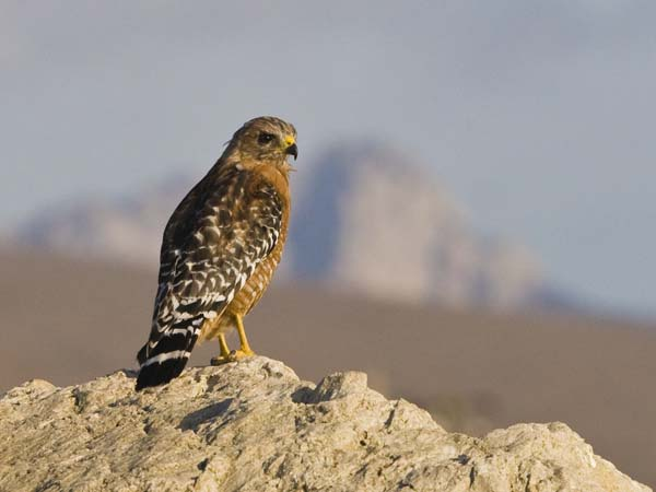 Red-shouldered Hawk | Buteo lineatus photo