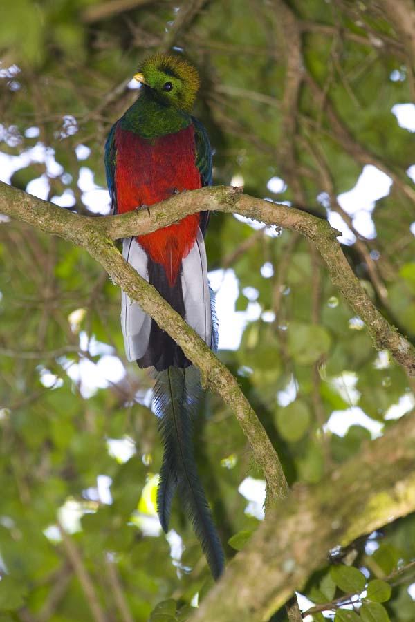 Resplendent Quetzal   Pharomachrus mocinno photo