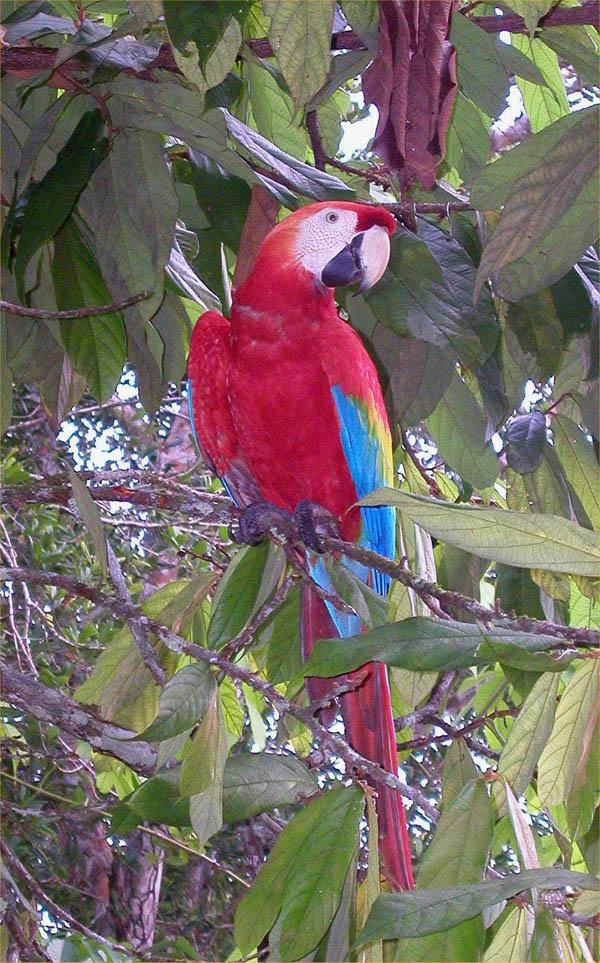 Scarlet Macaw | Ara macao photo