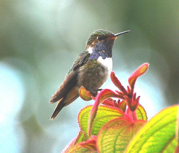 Volcano Hummingbird | Selasphorus flammula photo
