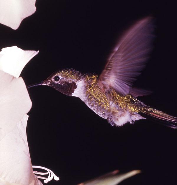 Broad-tailed Hummingbird | Selasphorus platycercus photo