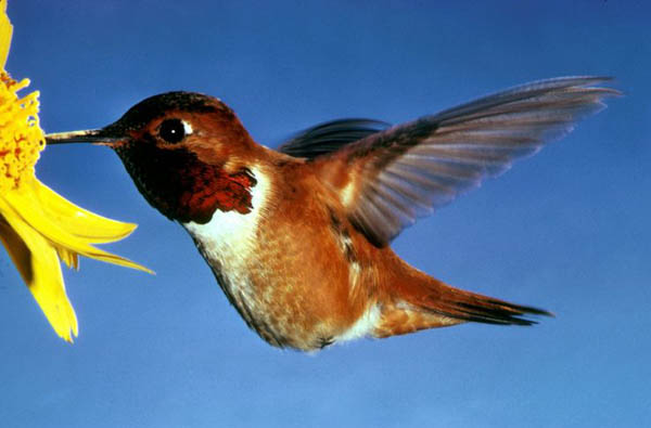 Rufous Hummingbird | Selasphorus rufus photo