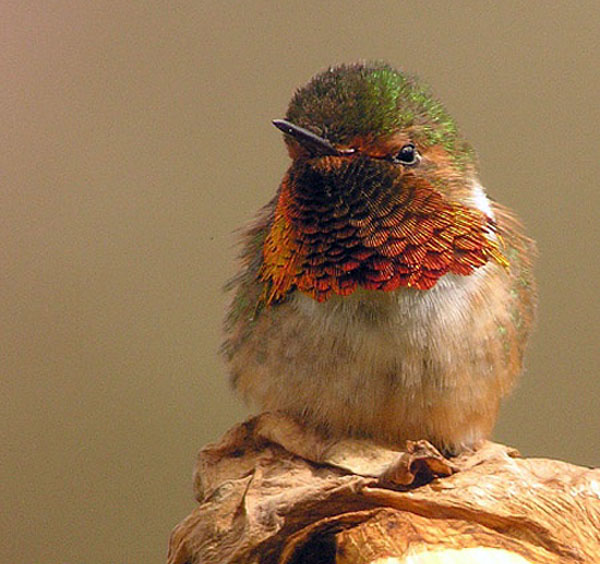 Scintillant Hummingbird | Selasphorus scintilla photo