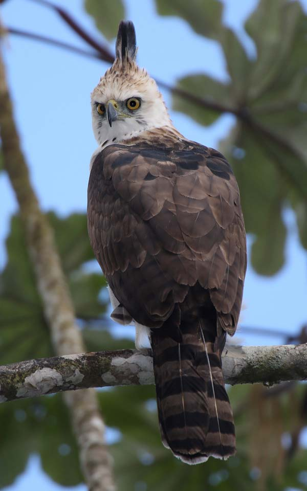 Ornate Hawk-Eagle | Spizaetus ornatus photo