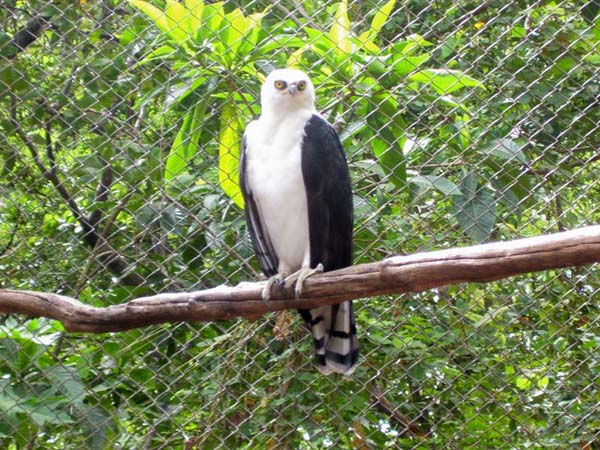 Black-and-white Hawk-Eagle | Spizastur melanoleucus photo